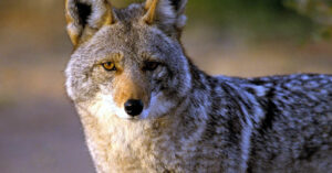WI Residents Consider Arming Up To Keep Coyotes At Bay