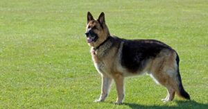 Man Forced to Shoot German Shepherd Because Its Owner Couldn't Bother to Contain It
